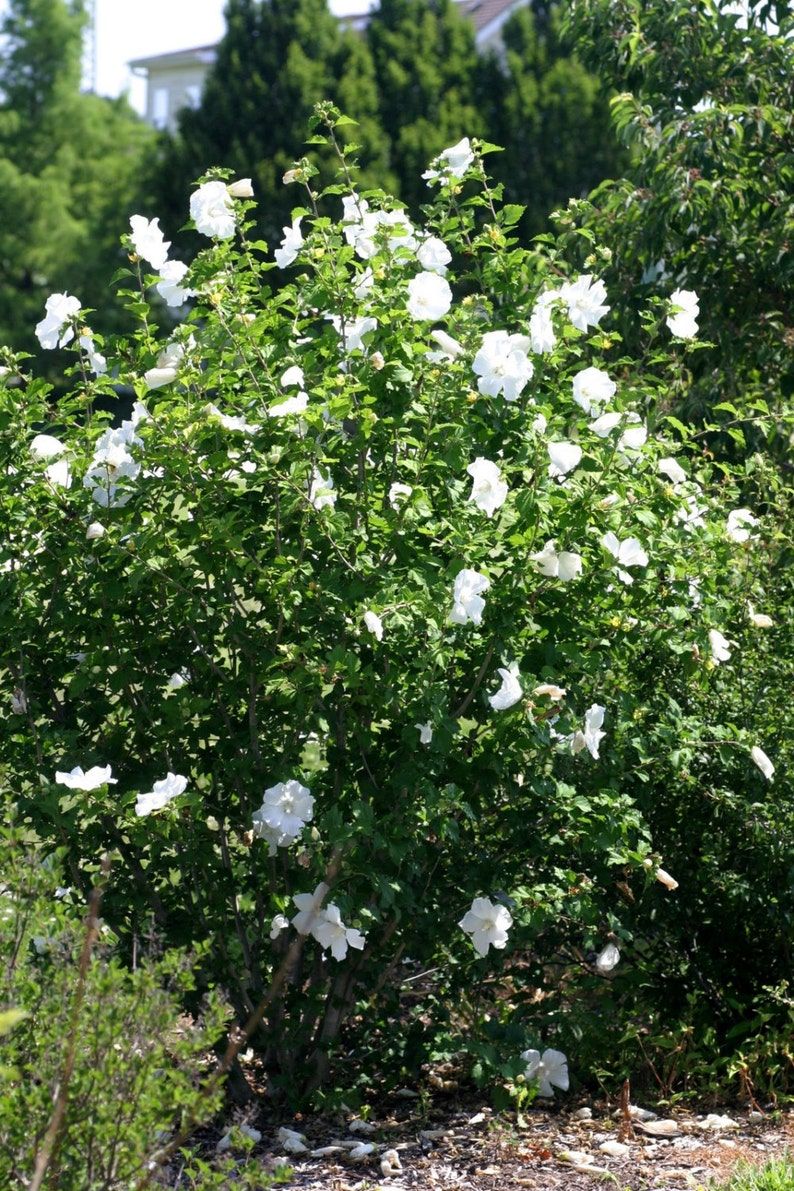 Picture of Live Rose of Sharon (white) aka Hibiscus syr. 'Diana' Plant Fit 5 Gallon Pot