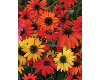 """Cheyenne Spirit Echinacea 3 Plants 4"""" Pot, Coneflower, Gold, Red and Purple Flowers, Easy Care, Full Sun, Vibrant Colors"""