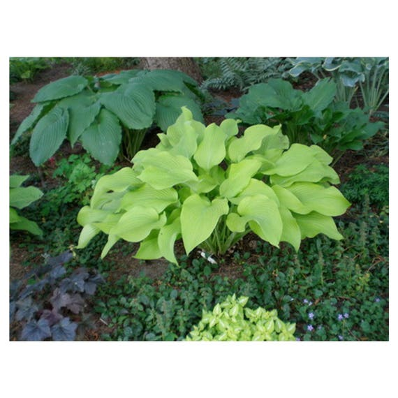 City Lights Hosta 1 Quart Potted Plant Bright Yellow Heart Etsy