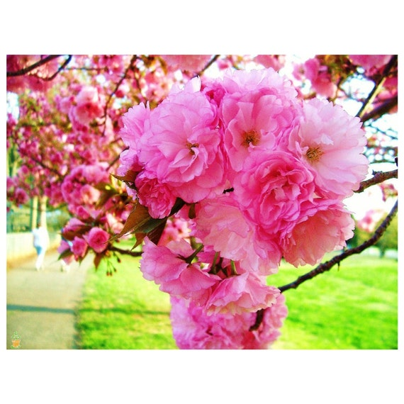 Kwanzan Cherry Tree Pink Blossoms Landscaping Double Pink Etsy