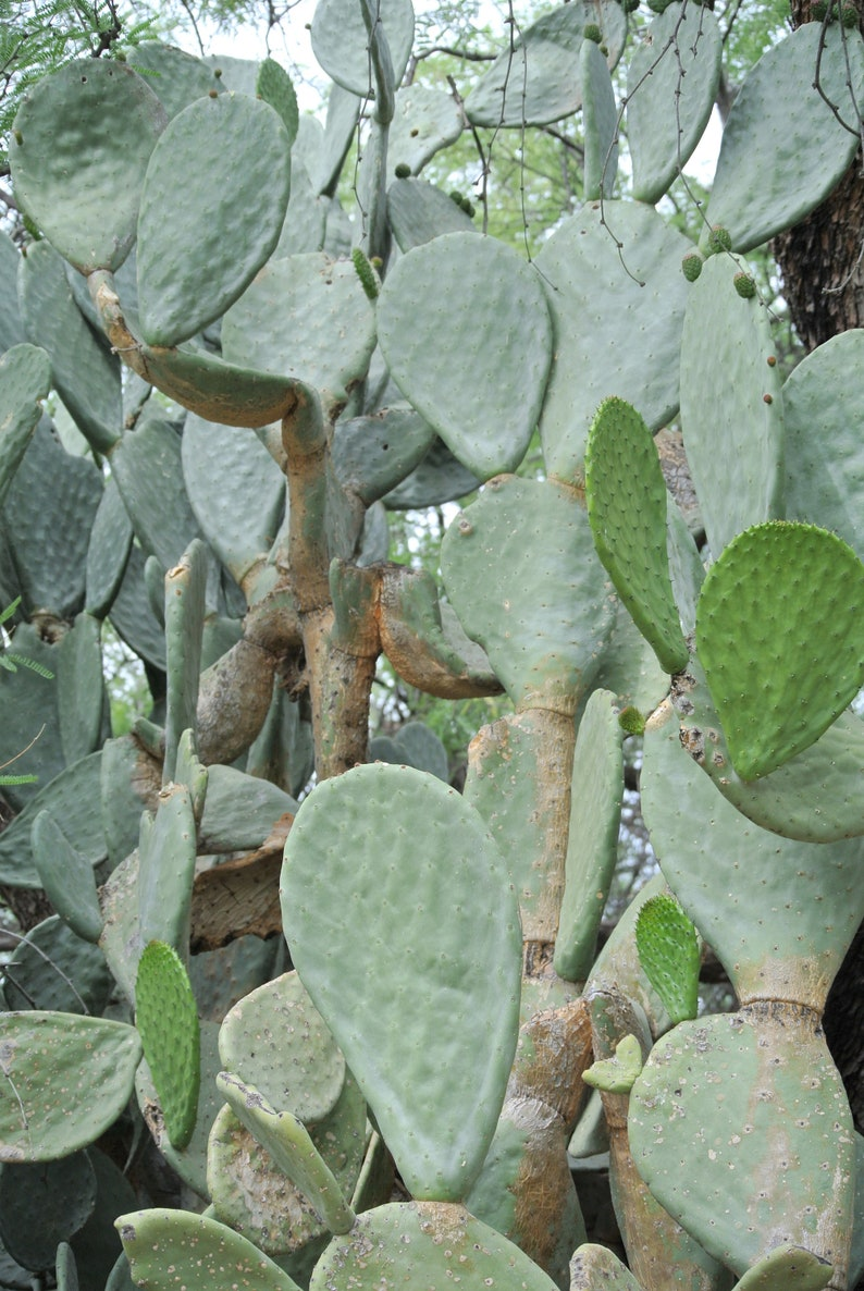 EXTREMELY LARGE PRICKLY PEAR PADS 3 OPUNTIA FICUS INDICA PRICKLY PEAR CACTUS CACTUS GARDEN DESERT PLANT CACTUS CUTTINGS PLANT