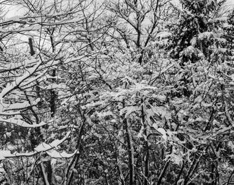 Landscape Photography - Snowy Branches, Art, Digital Download, Black and White, Print