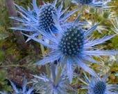 25 BLUE Star SEA HOLLY Eryngium Flower Seeds *Comb S/H photo