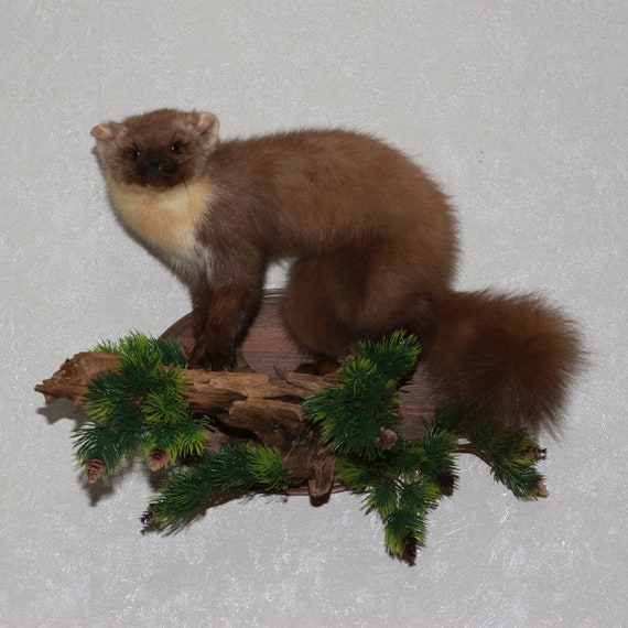 Pine Marten Taxidermy Mount Fisher Mounted Stuffed Animals Etsy