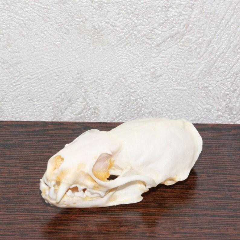 SKELETON BONES WEASEL CLEANED SKULL EUROPEAN MINK TAXIDERMY SKULL JAWS