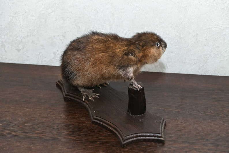Lifesize Real Stuffed Animals For Sale Decor Mounted St4869 Small Beaver Taxidermy Mount