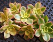 5 x Cuttings Aeonium Kiwi Pinwheel Variegated 1 1 2 quot diameter - Exotic Succulent Plant