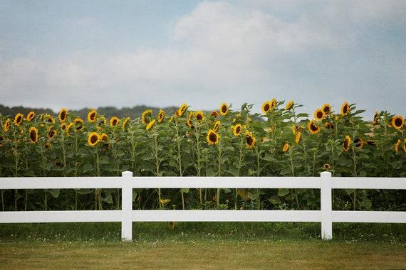 Sunflower Field Art Rustic Landscape Print And Wall Decor