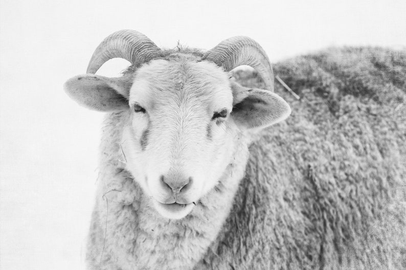 Sheep Art, Black and White Farm Animal Print, Rustic Home Decor and Country  Photography