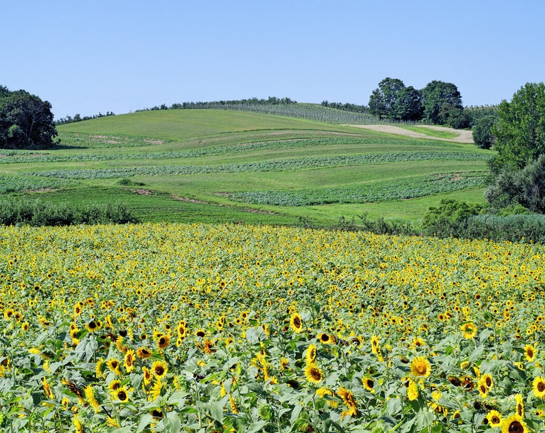 Sunflower field at Lyman Orchards Middlefield Middletown image 0
