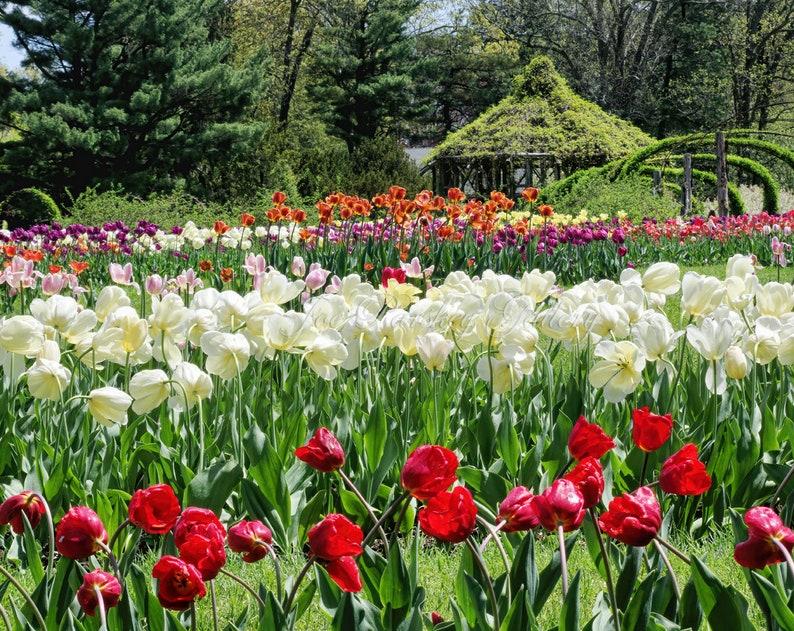 Tulips beauty Elizabeth Park Hartford West Hartford CT image 0