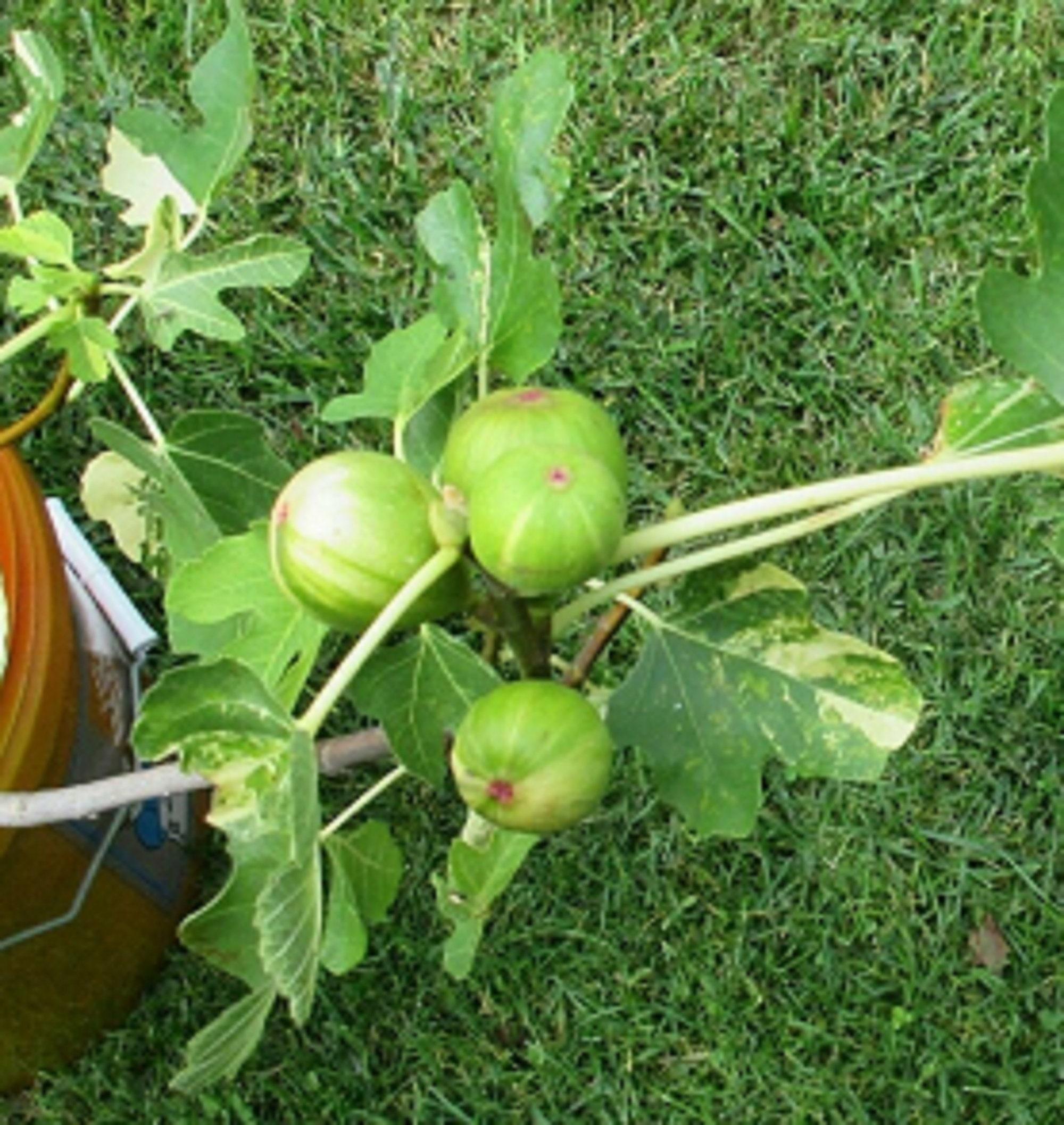 ficus carica Golden Celeste 3 Fig tree cuttings CELESTE FIG TREE CUTTINGS