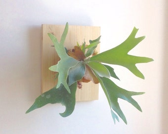 Set mounting for vegetable plume epiphytic plant (Horn Moose/Staghorn fern/fern/Orchid) - stainless steel/Sphagnum plant/frame/stand