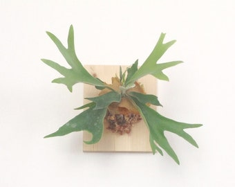 Plume plant epiphytic plant Horn Moose (Staghorn fern) - all included (plant/stainless steel stand/varnished pine frame)