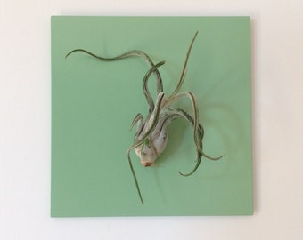 "Air plant (Tillandsias, air plant) vegetable painting 7 ""x 7"" - plant magnet in painted steel frame"