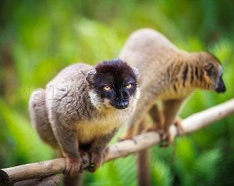 Two Madagascar Lemurs on Tree, Lemur Print, Monkey Photography, Lemur Wall Art, African Wildlife, Wild Nature Photography, Nursery Picture