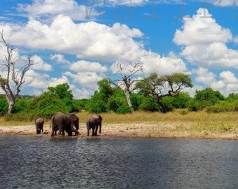 African Elephants in Water,  African Wildlife, Animal Photography, Nature Photography,African Wall Art Print, Elephant Poster, Botswana