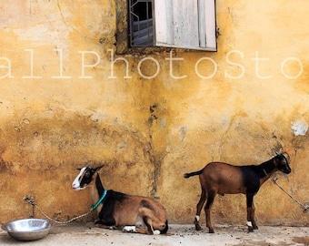 African Photography, Eid Al Adha, Islamic Holidays, Goats on St. Louis Street, Senegal Wall Art, Goat Art, Goats Prints, Senegal Photos