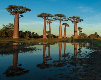 Baobab Large Poster, Panoramic Wall Art, Madagascar Baobabs, Baobab Tree Photography, African Baobab Wall Art, 10x20, 12x24, 16x32, 20x40