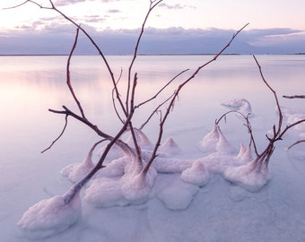 Lonely dry Tree on the Dead Sea salt Island - Natural Wall Art - Israel Photos