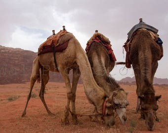 Three Camels Photography, Jordan Photography, Desert Art, Animal Photography, Middle East Art, 3 Camel, Desert Photography, Nursery Wall Art