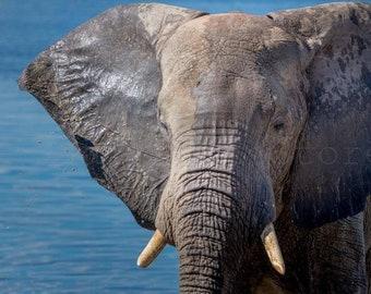 Elephant Portrait, Elephant Picture, African Elephants, African Wildlife, Animal Photography, Wild Nature Photography, Elephant Wall Art