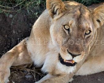Animal Photography, Lion Photography, Lion Print, Lion King, Lion Art, Kenya, African Wildlife, Wild Nature Photography, Lion Wall Art Print