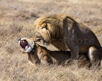 Animal Photography, Lions Having Sex, Tanzania, African Wildlife, Lions Photography, Wild Nature Photography, Wall Art Print, Lions Sex Art