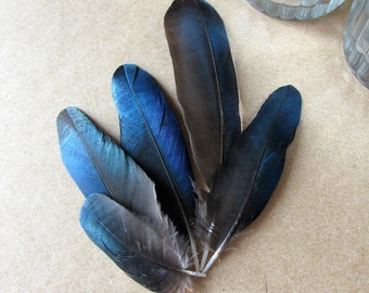 Small Blue Magpie Feathers (Ethically Sourced)