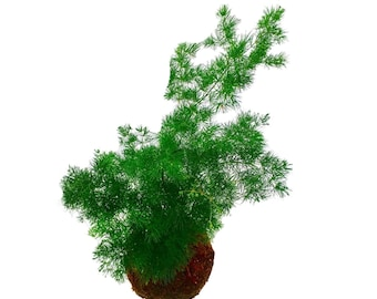 Asparagus Fern Garden, A Moss-Covered Hanging Plant Globe, Modern Kokedama Zen Garden In The Ancient Japanese Tradition