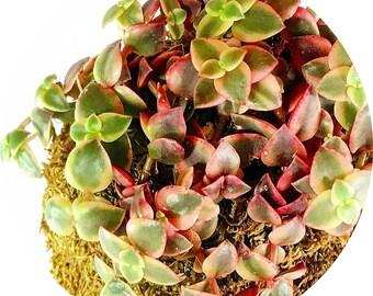 Kokedama Crassula Indoor Plant, Crassula Zen String Plant, Moss Ball Self-Contained Crassula Plant, Crassula Succulent for Homes