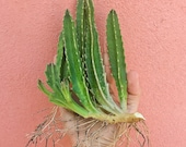 Stapelia Gigantea - Starfish Plant - Carrion Plant - Zulu Giant - Giant Toad Plant