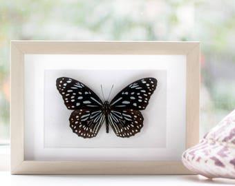 Real framed butterfly: Tirumala septentrionis // black & white-blue butterfly