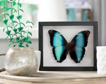 Real framed butterfly:  Morpho achilles // blue morpho butterfly