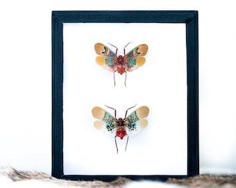 Real Sunburst Lanternfly Entomology Framed Scamandra Thetis