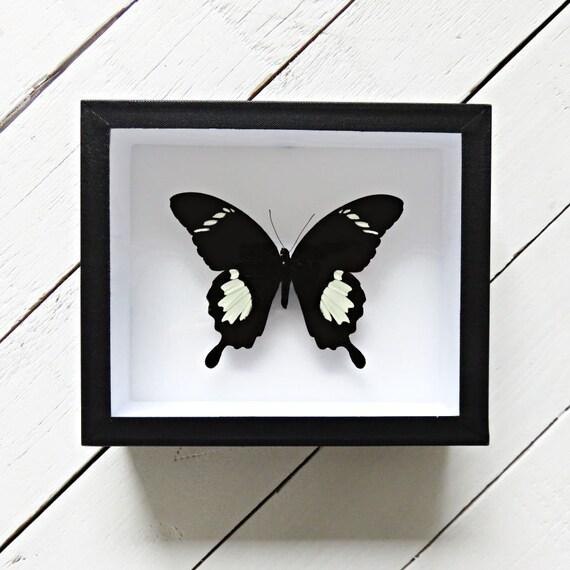 Real framed butterfly: Papilio nephelus // black & white | Etsy