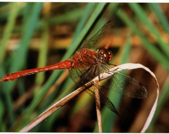 "A 7x5"" photograph of a dragonfly (Red-veined Darter?) on Kodak paper"