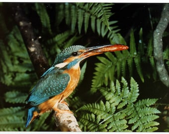 "A 7x5"" photograph of a Kingfisher bird with a fish in its beak on Kodak paper"