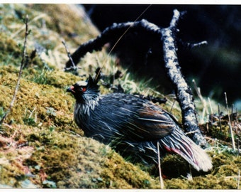 "A 7x5"" photograph of a Ptarmigan or Grouse bird maybe."