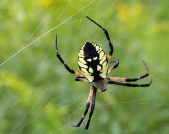 Yellow Argiope Spider Photo Card