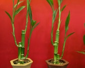 Lucky Bamboo Plant in Vase Party Favor