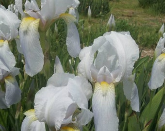 Beautiful 1500 Historic Iris FLORENTINA Palest Blue Heritage Iris