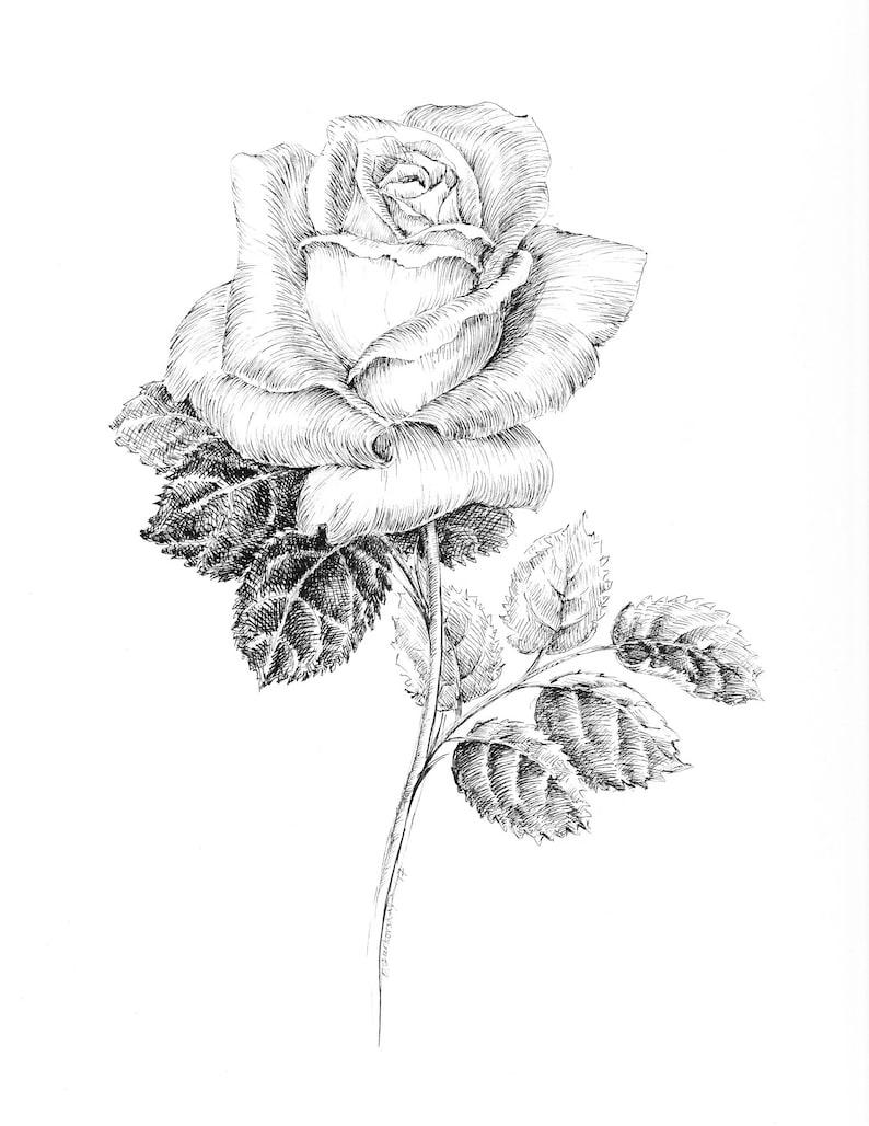 Black and white rose drawing pen and ink sketch flowers floral prints rose artwork botanical art floral pictures rose illustration