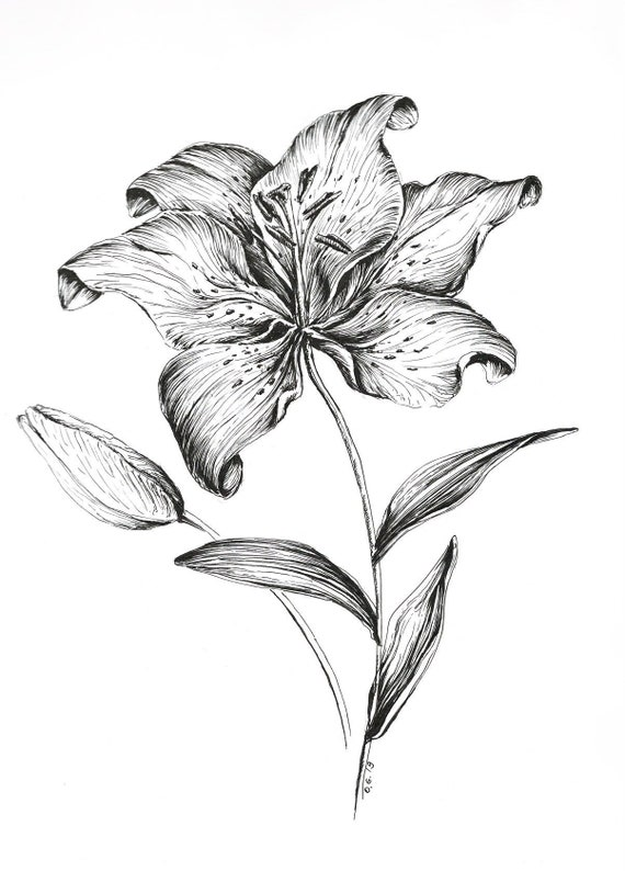 Tiger Lily Drawing Flower Wall Art Flower Prints Pen And Etsy