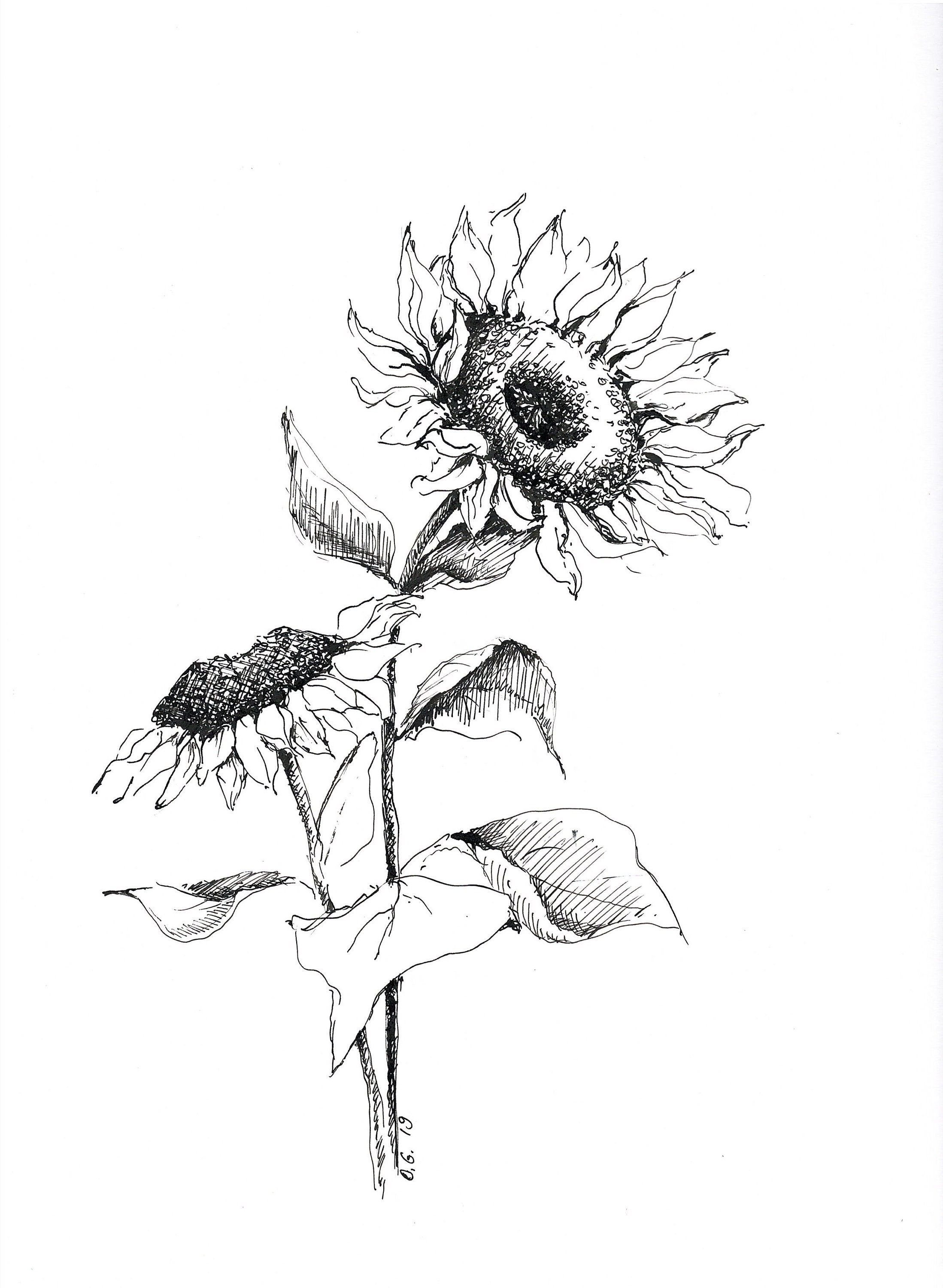 Sunflower art black and white sketches original pen and ink drawings flower sketch art floral pictures botanical illustration decor