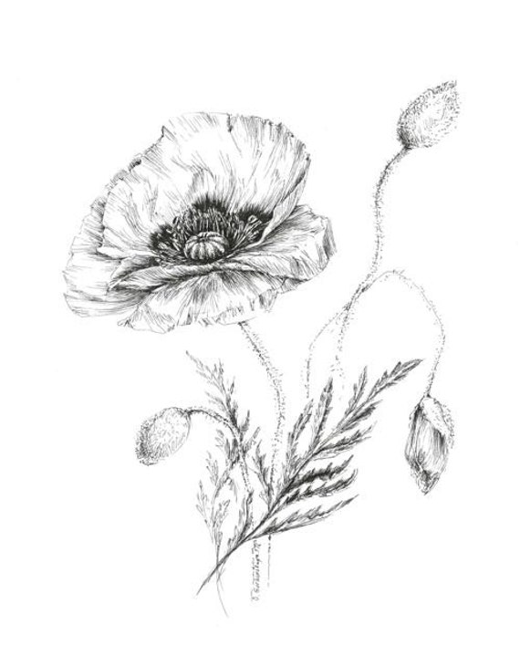 Poppy Drawing Botanical Prints Floral Illustrations Pen Etsy