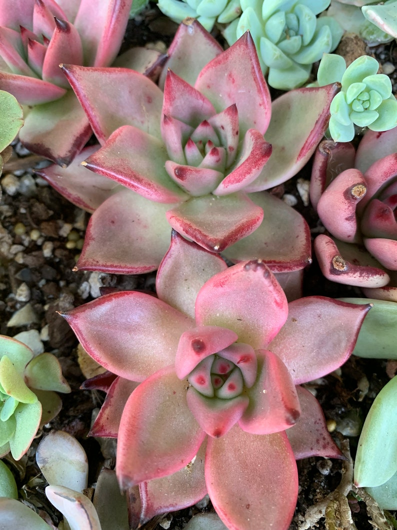 succulent Echeveria agavoides /'Romeo/' 3\u201d\u7f57\u5bc6\u6b27