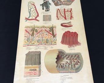 1885 Wall Chart - Details of Human Anatomy, Yaggy's Anatomical Study, Rare Original Antique Anatomy Chart