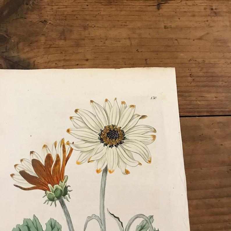 1816 Botanical Engraving by Edwards Showy Arctotis Original Hand Colored Antique Print