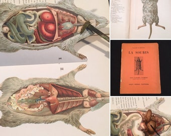 Anatomical Study of the Rat, Rare French Dissection Model, Antique Fold-Out Color Diagram